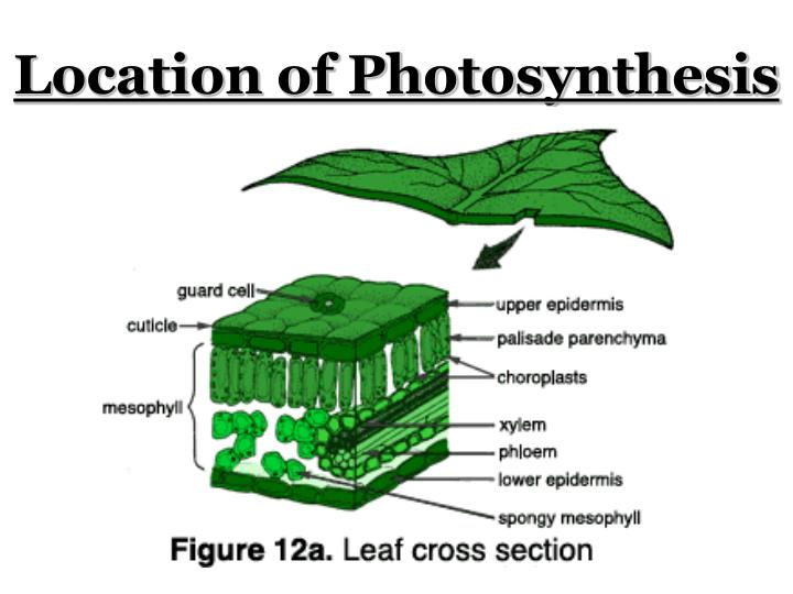 Location of Photosynthesis