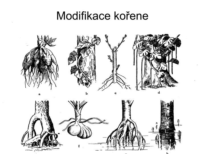 Modifikace kořene