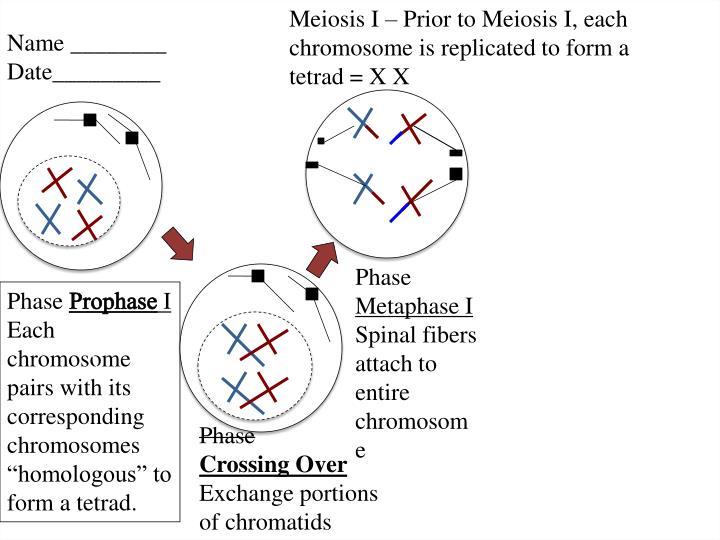 Meiosis I – Prior to Meiosis I, each chromosome is replicated to form a tetrad = X X