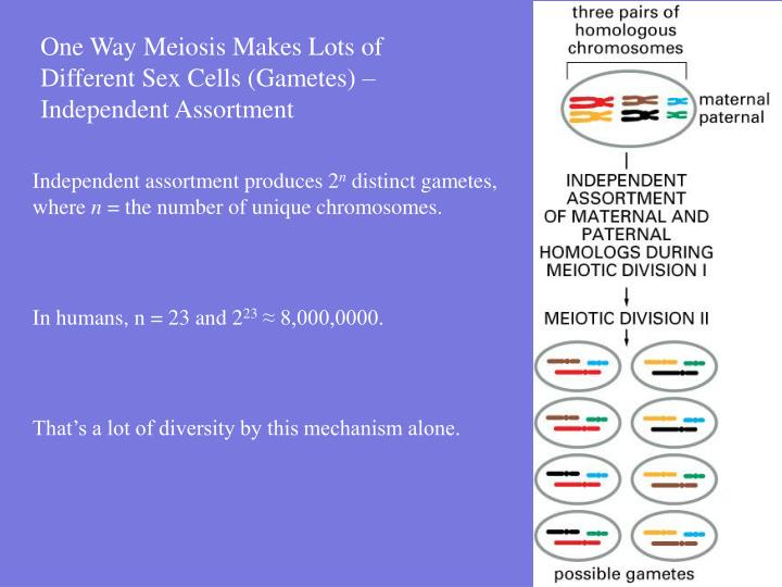One Way Meiosis Makes Lots of Different Sex Cells (Gametes) – Independent Assortment