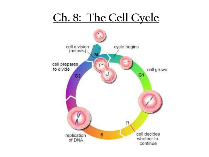 ch 8 the cell cycle n.
