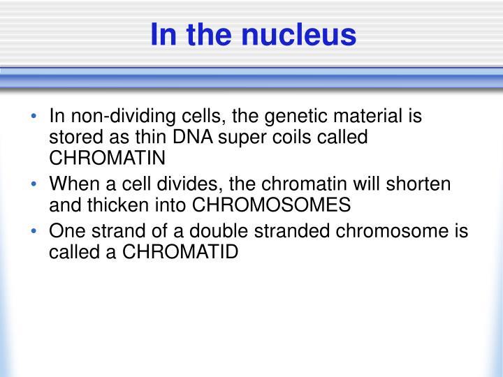 In the nucleus