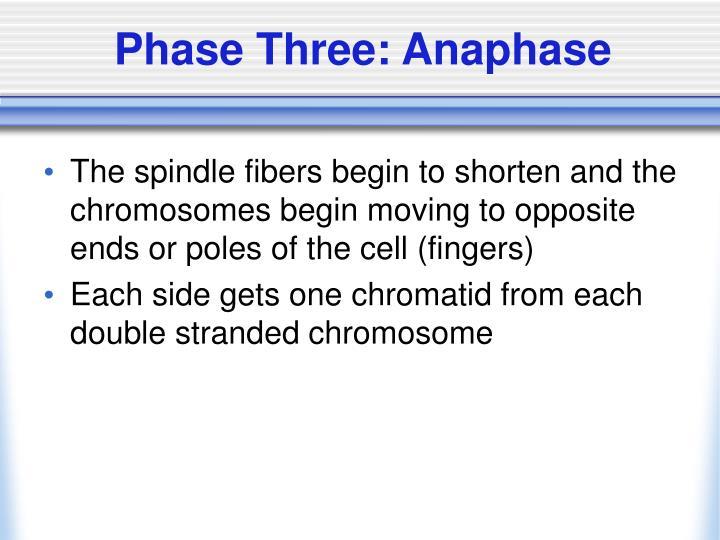 Phase Three: Anaphase