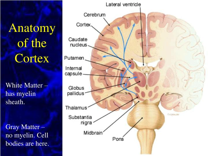 Anatomy of the Cortex
