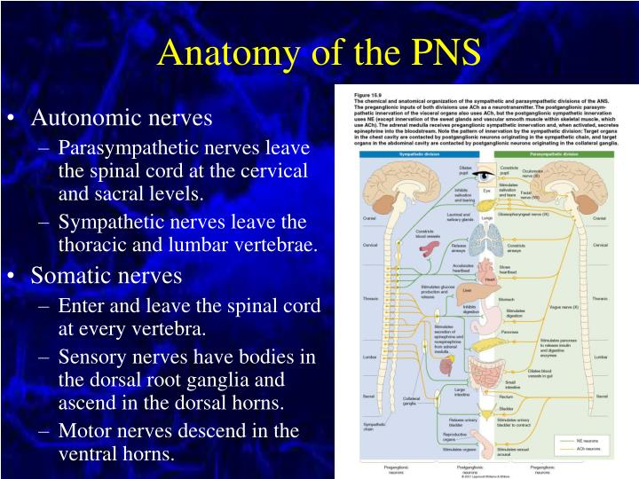 Anatomy of the PNS