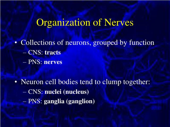 Organization of Nerves