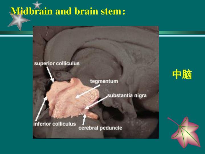 Midbrain and brain stem