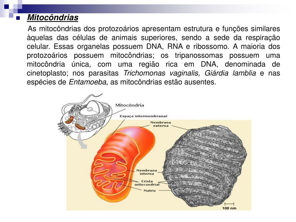 Ppt Organelas E Estruturas Encontradas Nas Células Dos