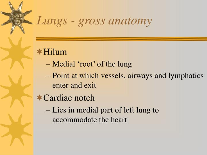 Lungs - gross anatomy