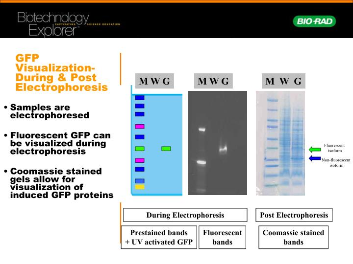 GFP Visualization-During & Post Electrophoresis