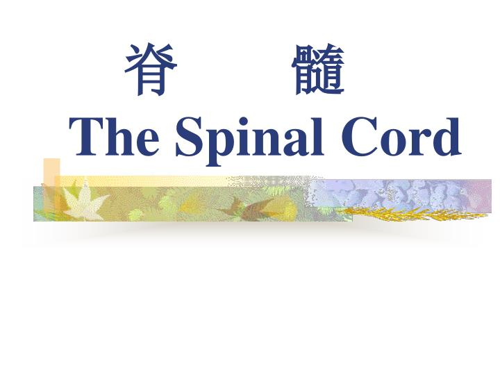 the spinal cord n.