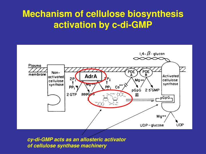 Mechanism of cellulose biosynthesis activation by c-di-GMP