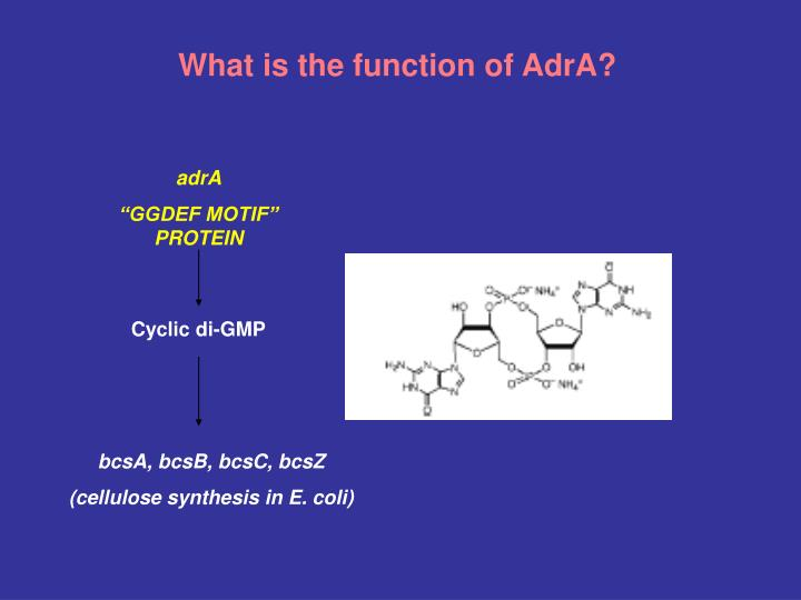 What is the function of AdrA?
