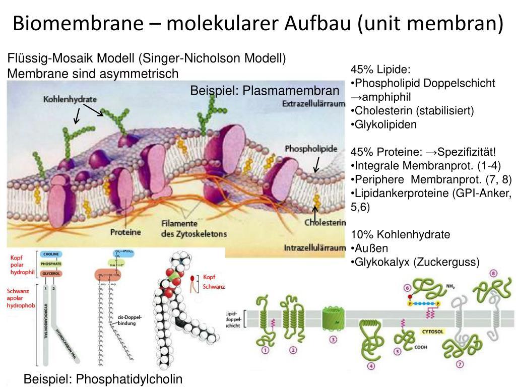 Biologische Membran