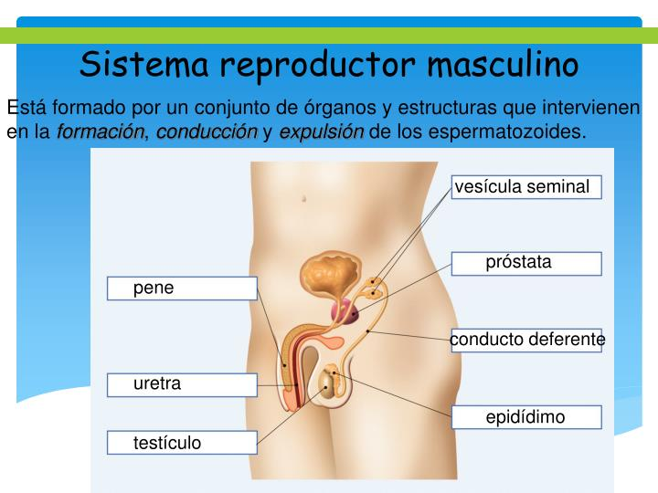 PPT - Sistema reproductor masculino PowerPoint Presentation - ID:5805715