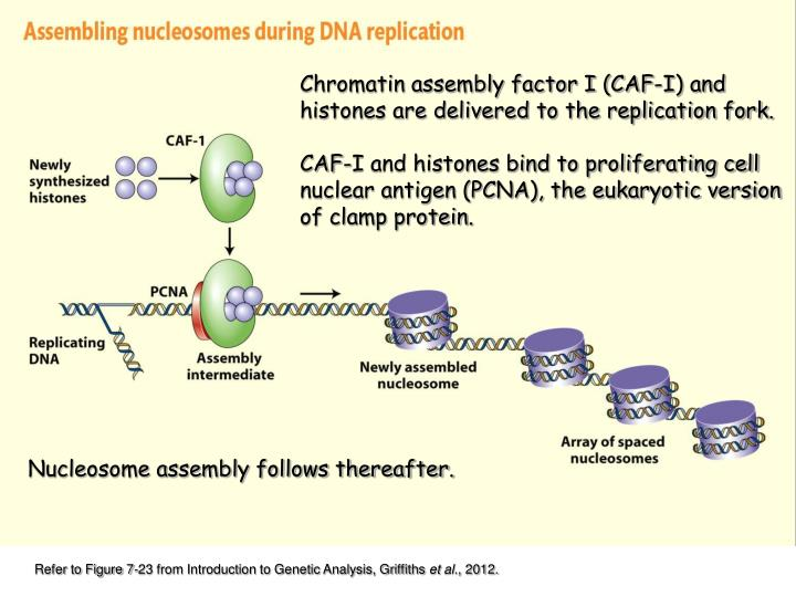 Chromatin assembly factor I (CAF-I) and histones are delivered to the replication fork.