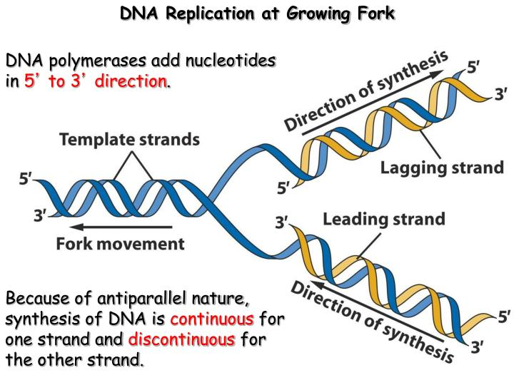 DNA Replication at Growing Fork