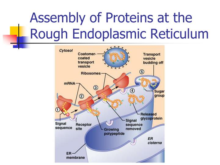 Assembly of Proteins at the Rough Endoplasmic Reticulum
