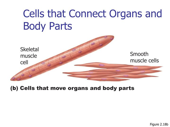 Cells that Connect Organs and Body Parts