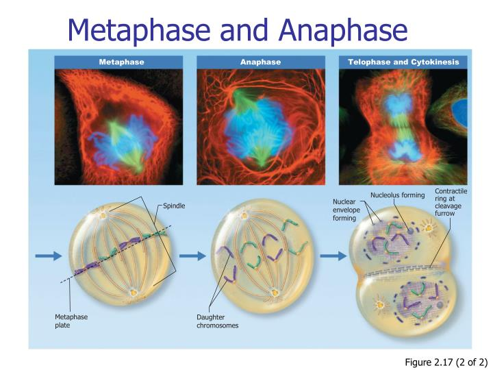 Metaphase and Anaphase