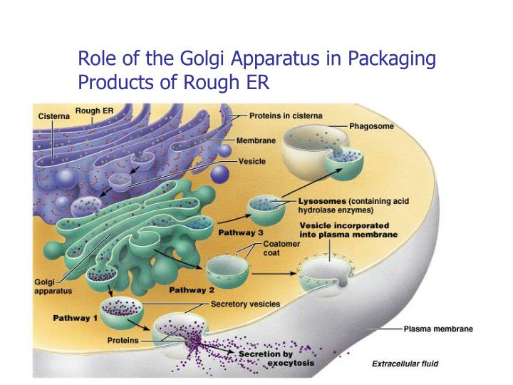 Role of the Golgi Apparatus in Packaging Products of Rough ER