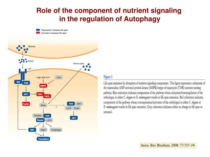 Role of the component of nutrient signaling