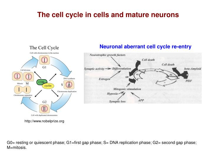The cell cycle in cells and mature neurons