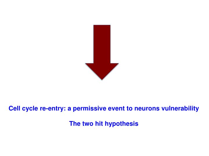 Cell cycle re-entry: a permissive event to neurons vulnerability
