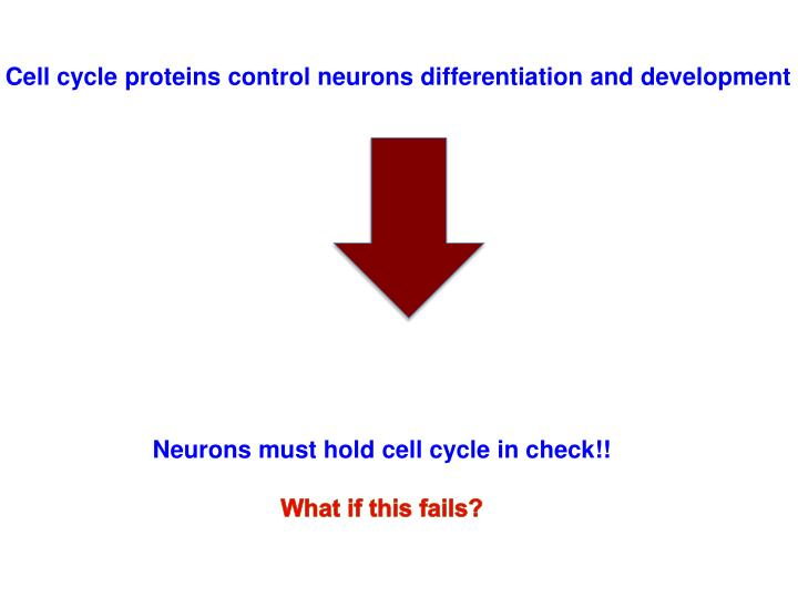 Cell cycle proteins control neurons differentiation and development