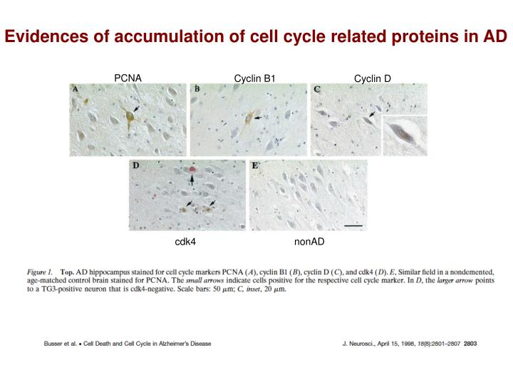 Evidences of accumulation of cell cycle related proteins in AD
