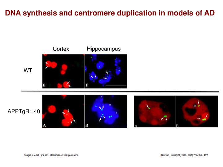 DNA synthesis and centromere duplication in models of AD