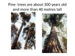 pine trees are about 300 years old and more than 4 0 metr e s tall