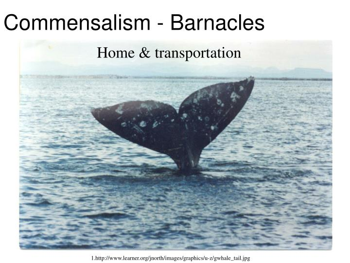 Commensalism - Barnacles