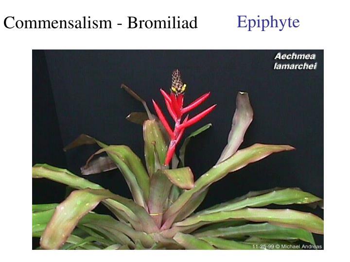 Commensalism - Bromiliad