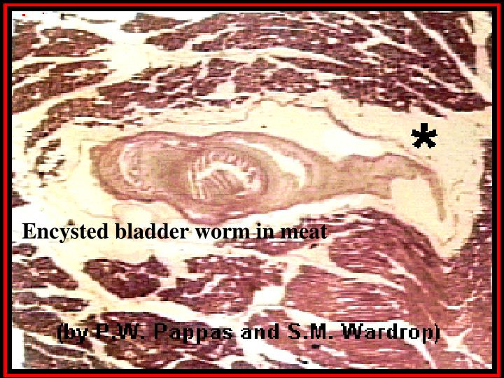 Encysted bladder worm in meat