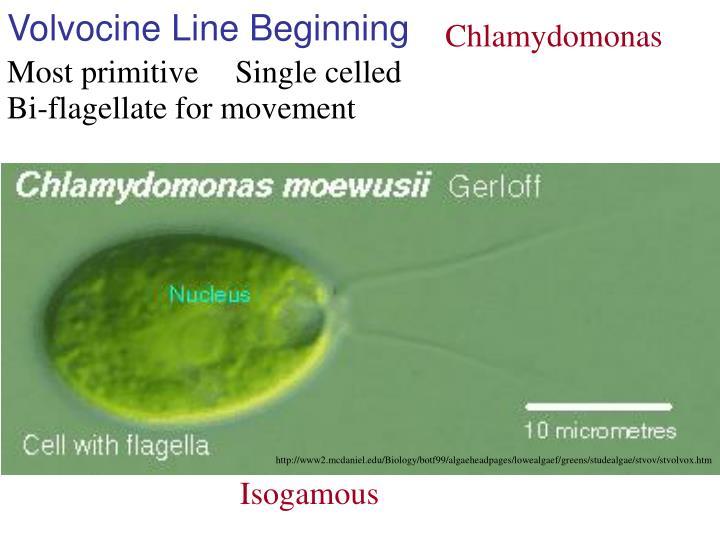 Volvocine line beginning