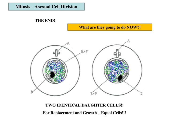 Mitosis – Asexual Cell Division