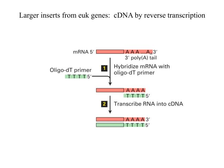Larger inserts from euk genes:  cDNA by reverse transcription