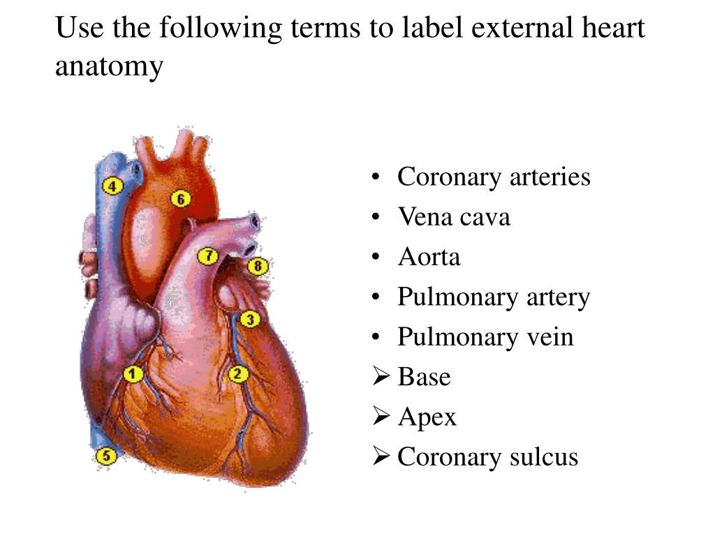PPT - Use the following terms to label external heart anatomy ...
