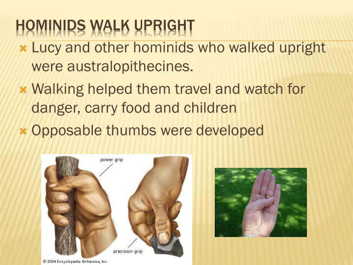 Lucy and other hominids who walked upright were australopithecines.