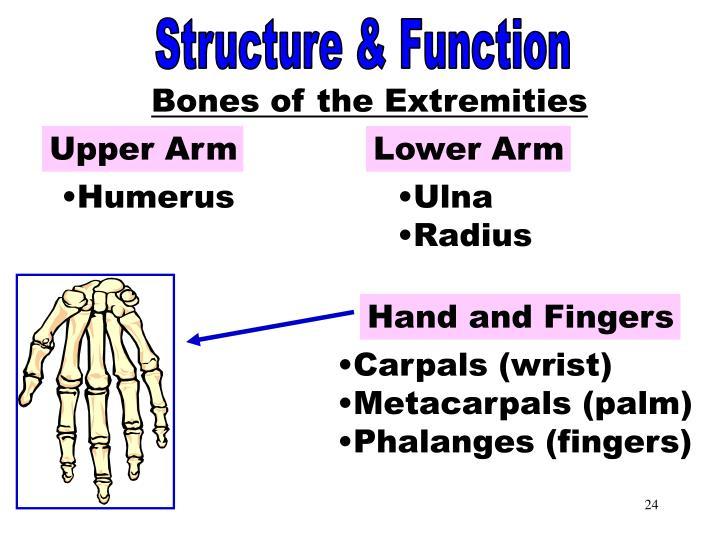 Bones of the Extremities