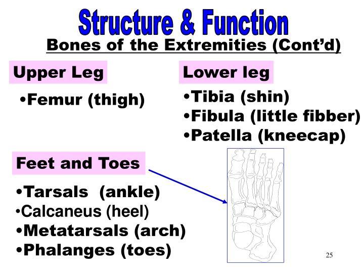 Bones of the Extremities Part 2