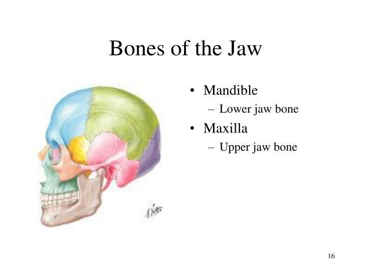 Bones of the Jaw