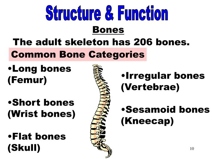 Common Bone Categories
