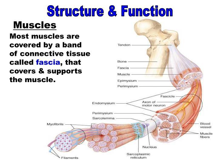 Muscles - Fascia