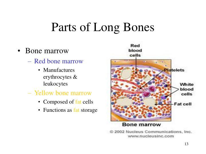 Parts of Long Bones