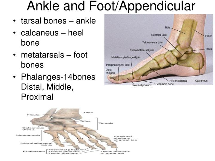 Ankle and Foot/Appendicular