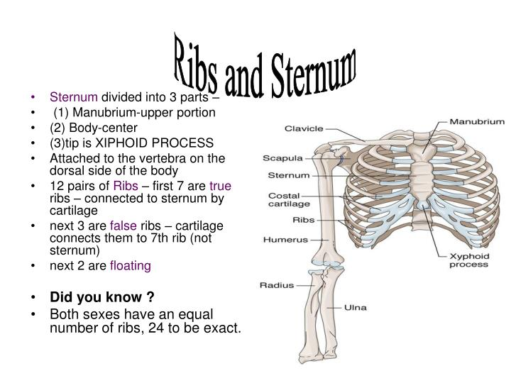 Ribs and Sternum