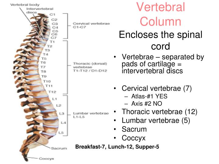 Spine – Vertebral Column