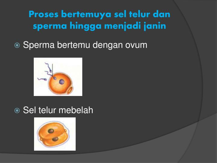 Proses bertemuya sel telur dan sperma hingga menjadi janin